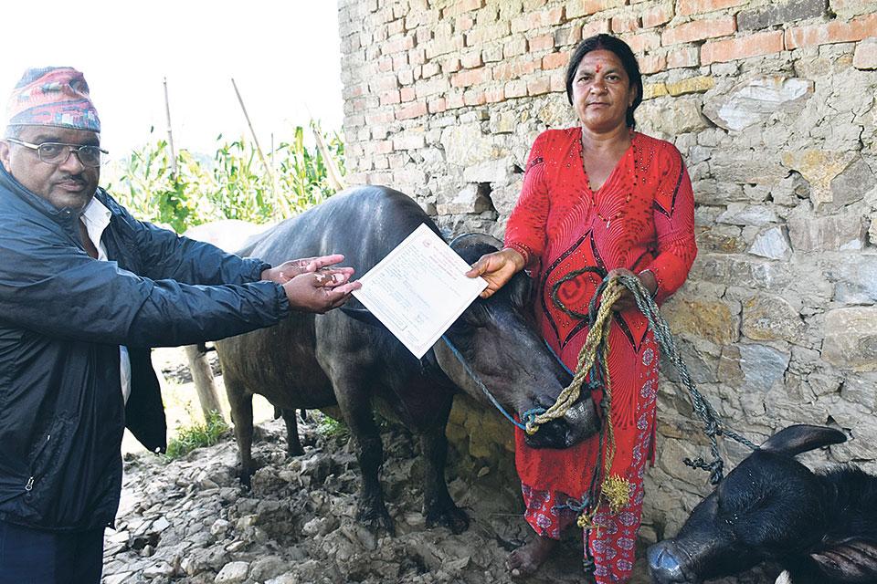 Panauti Municipality provides buffalo pregnancy allowance