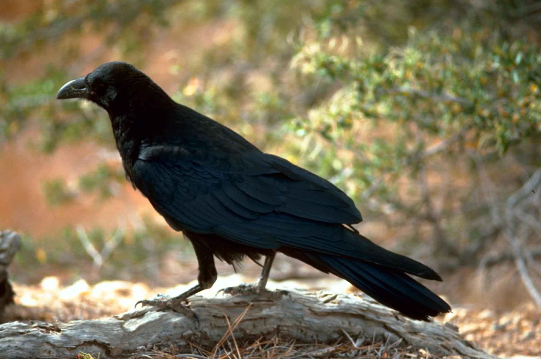 To the Black Bird