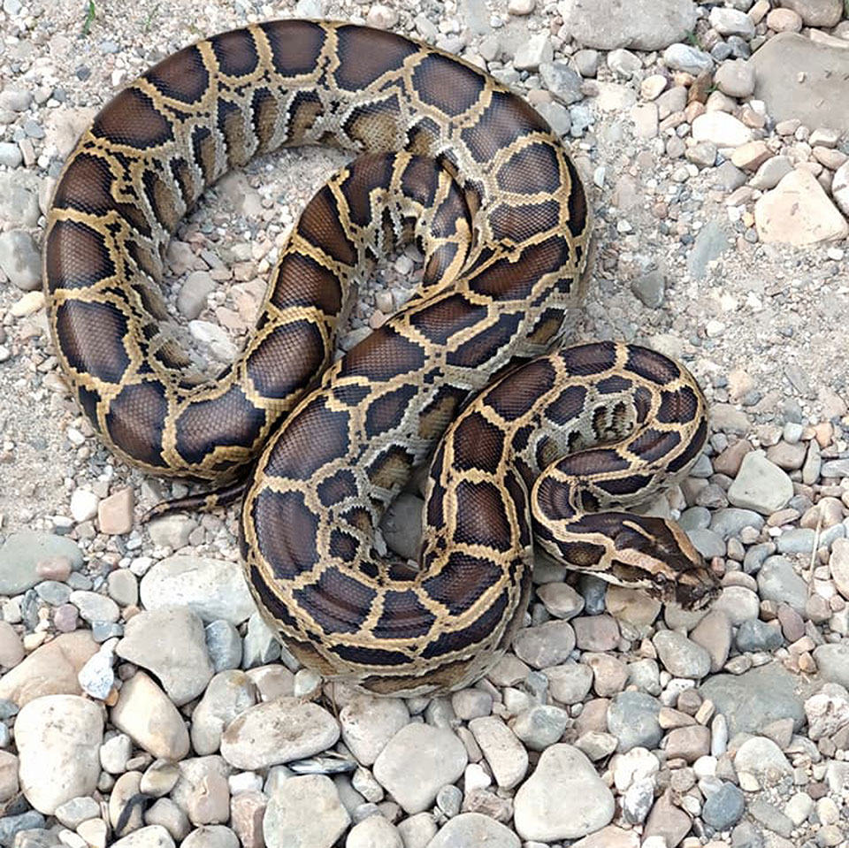 Python rescued from inside a house