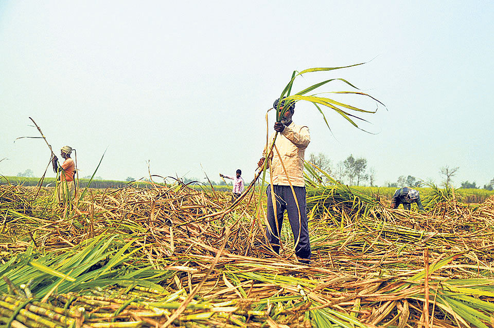 Four sugar mills yet to clear farmers' due worth Rs 481 million