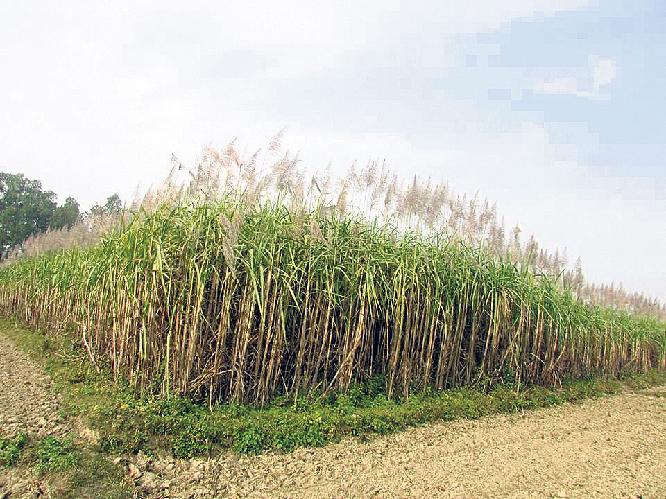 Govt keeps floor price of sugarcane unchanged at Rs 536.36 per quintal