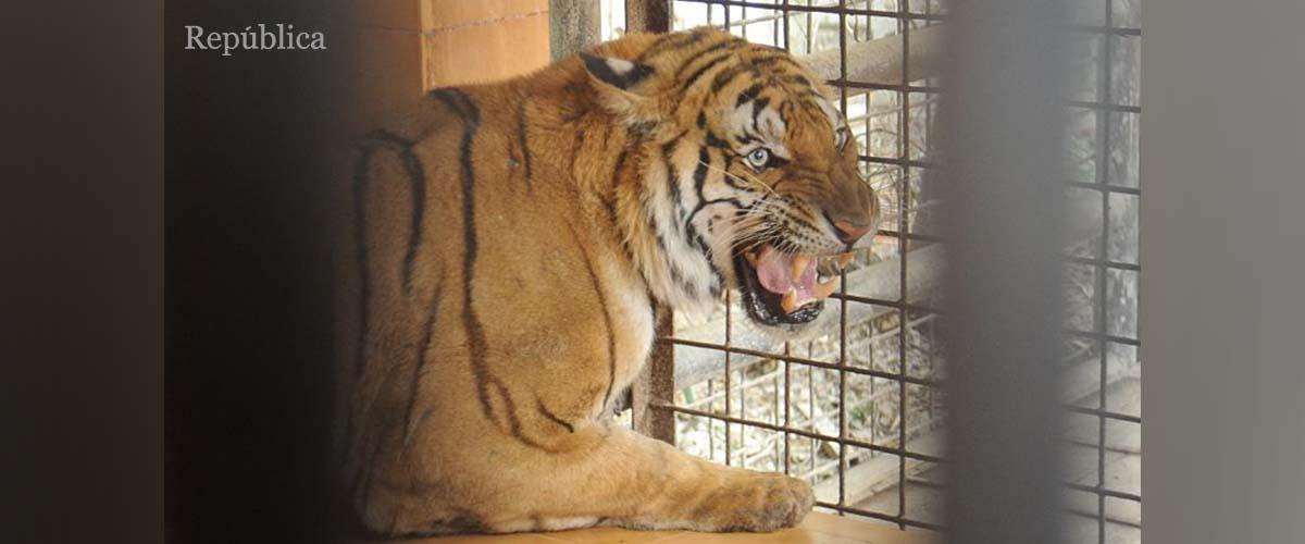 PHOTOS: Man-eater tiger from Bardiya caged at Central Zoo