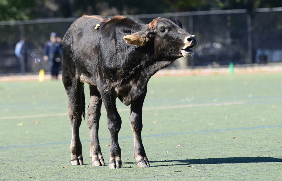 New York police round up wandering cow in Brooklyn Park